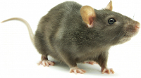 Rodent Exterminators in Denver