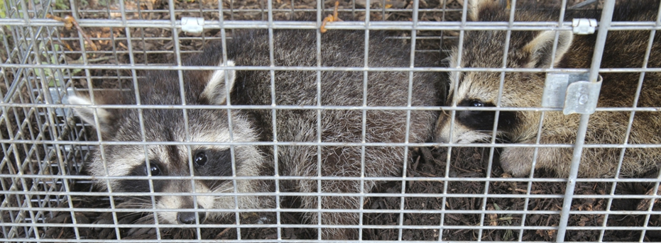 Racoons in cage