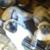 Gotier Siamese