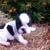 French Bulldog Florida  Le Pup Joli.