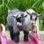 Amber Waves Pygmy Goats and Bearded Bantam Silkies