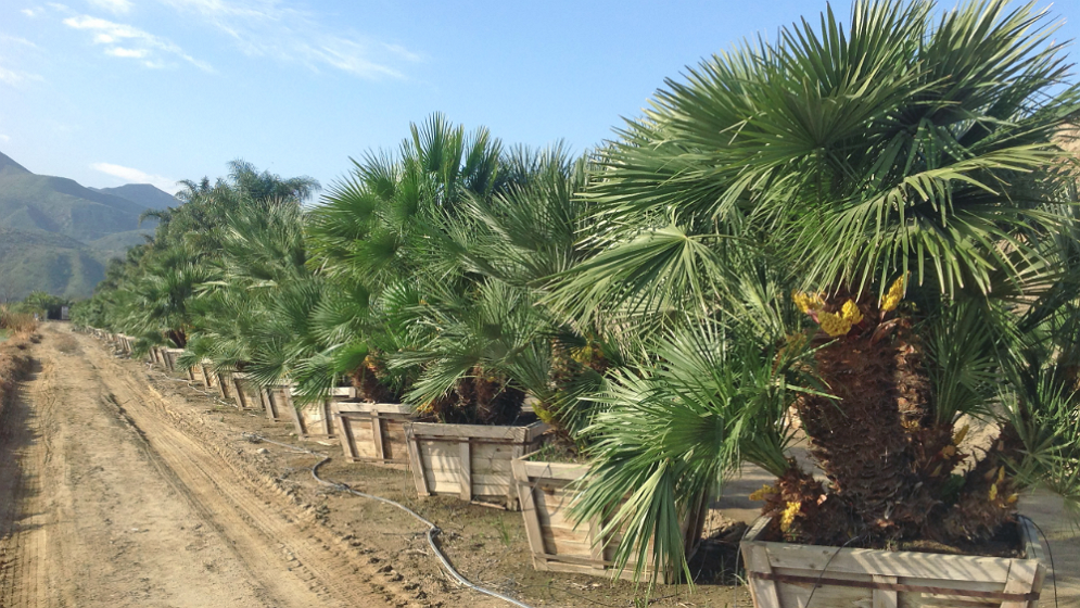 Big Tex Trees Nurseries Sugar Land Tx 77498