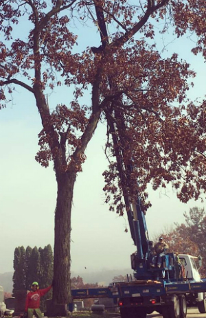 Tall tree pruning and removal