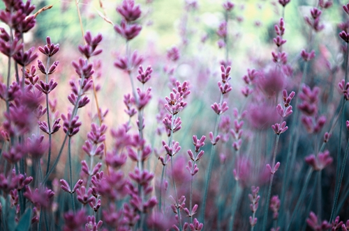 You can grow lavender for aesthetic purposes and pest control.