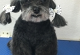 Iron Pet Mobile Grooming & Salon - Hollywood, FL. Poo Asian Style