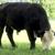 BF Farm - Kiko Goats, Kunekune Pigs and Black Hereford Cattle