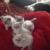 Kats Himalayan Kittens