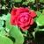 Pinky's Flowers