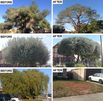 tree trimming pruning and removal before and after photos