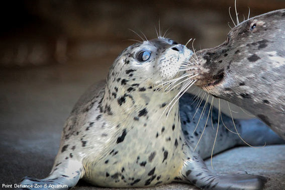 Harbor Seal Pup From Point Defiance Zoo