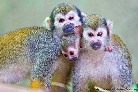 570-squirrel-monkey-busch-gardens-tampa-bay
