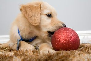 Holiday Hazards for Pet - Not Just About Food