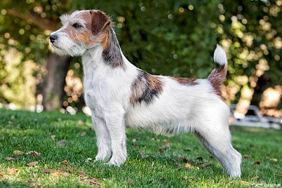570-380-Russell-Terrier