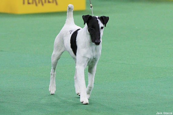 570-380-JGrassa_SmoothFoxTerrier1