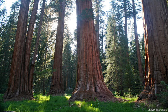 Sequoia Forest in Sequoia National Park