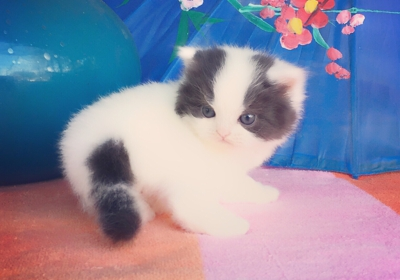kismet Kittens 123 W Bloomingdale Ave, Brandon, FL 33511