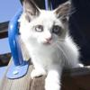 Roxy's Ragdoll Kittens