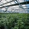 Canopi - Cannabis Dispensary