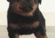 Stoneroad Company - Rottweiler Breeder of Northern California - Chico, CA. Boy - Tigh ready for new home 5/10/17 Call 530-828-8287