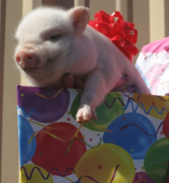 Best Little Potbelly Pig House - Beach City, TX