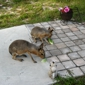 Fallin Pines Critter Rescue - Christmas, FL. Patagonian Cavy :o)