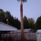 Axe Man Professional Arborist - Las Cruces, NM. 40'ft palm skinned and trimmed. Trim your palms every 6 months before the seed pods open