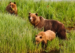 A Whale's Song Expeditions - Sitka, AK. Coastal Brown Bears
