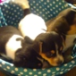 Thrifty Nickel - Lake Charles, LA. Jack Russell/ Rat terrier males 6 weeks old ready to go. First shot and dewormed. $150. Call 337-660-1013 for Sheila