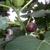 My Italian Fig Tree