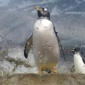 Tennessee Aquarium - Chattanooga, TN. Penguin exhibition. He is showing off.
