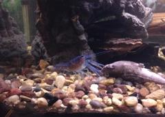 CRAZ-Z-PETS INC. - London, KY. Blue Lobster ..(Crayfish)