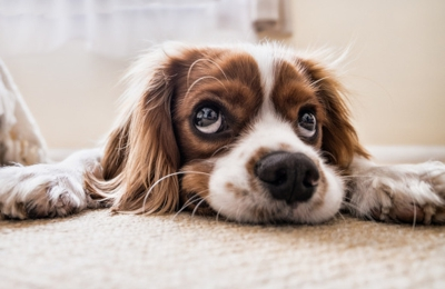Puroclean - Portland, OR. PET SAFE CARPET CLEANER - Own one of these? Don't let those sad eyes fool you. The carpets are filthy. Call for an estimate today.