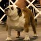 English bulldog for stud service - Houston, TX