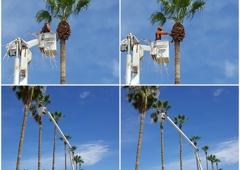 Arborist Standards Tree Care - Cottonwood, AZ. #palmtree #buckettruck