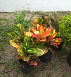 Aventura Nursery Landscape Inc Spring Hill Fl Colorful Crotons