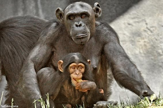 Baby Chimp at the LA Zoo