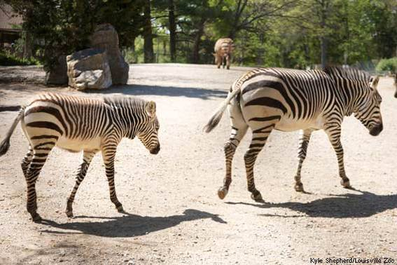 Baby Zebra Foal at Louisville Zoo