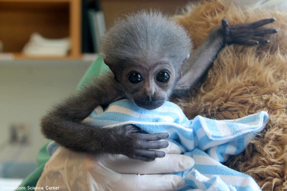 Duke the Baby Gibbon at Greensboro Science Center